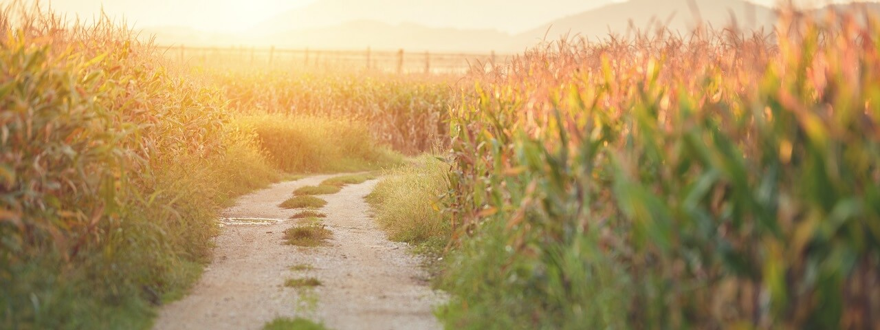 Image of a gravel driveway running through a cornfield at sunset