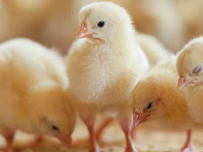 Image of Salmonella and Baby Poultry