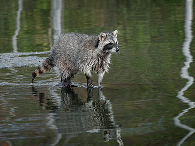 Image of Raccoon-Rabies Vaccination Baiting Begins