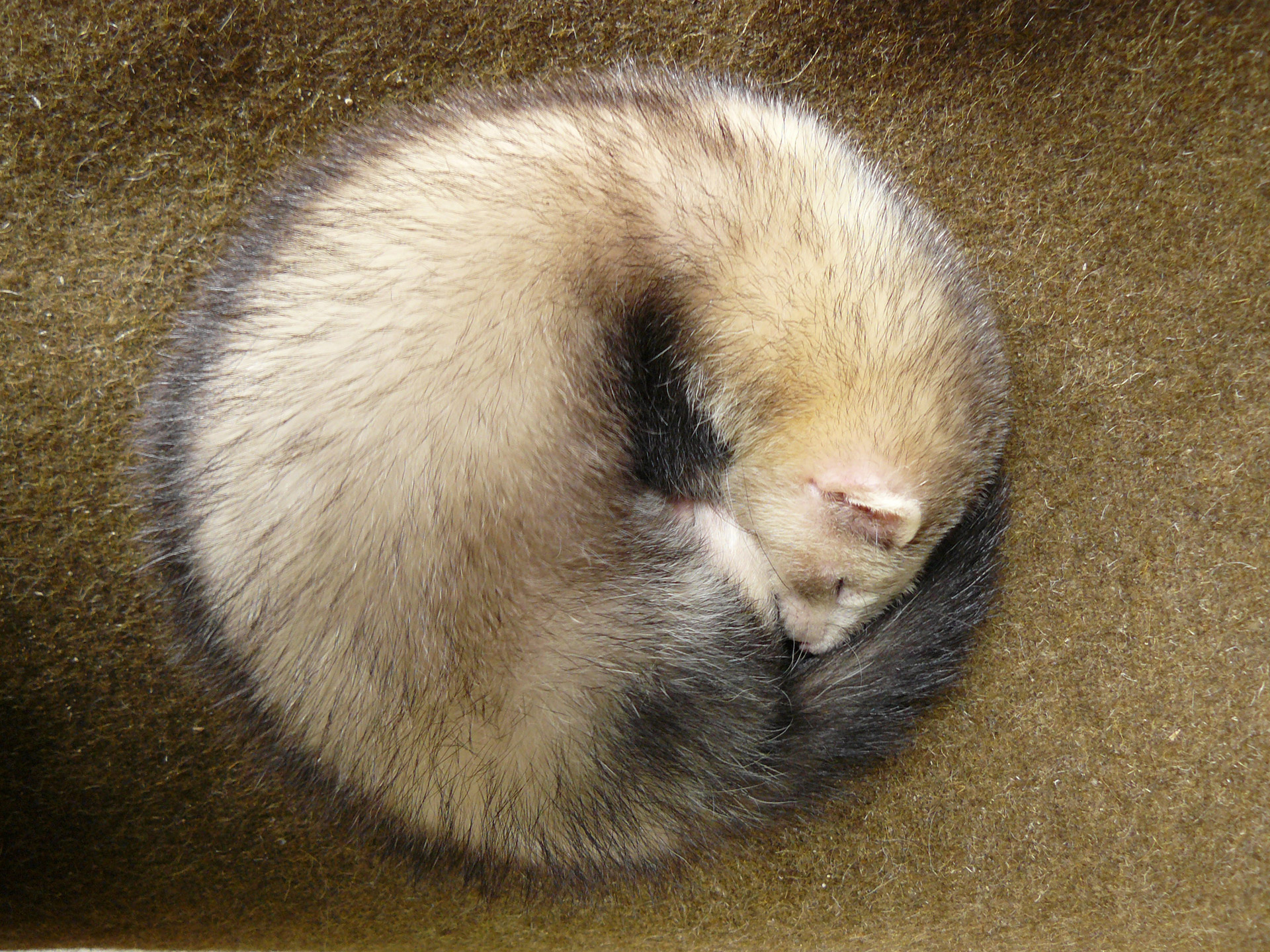 Ferret in a ball