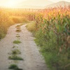 Image of a gravel driveway going through a cornfield at sunset
